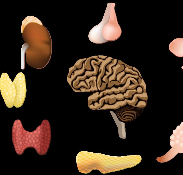 hormonen en het gebit